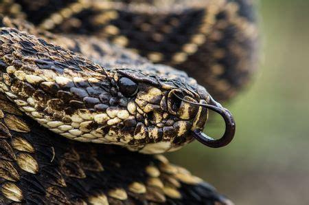 Eastern Diamondback Rattlesnakes, Eastern Diamondback