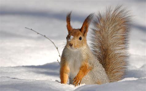 snow animals 1080p HD Desktop Wallpapers 4k HD