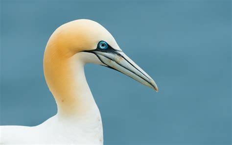 Gannet Seabird wallpaper 1680x1050 #13215