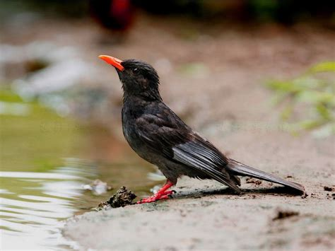 Animals World: african animals of black bulbul birds photo