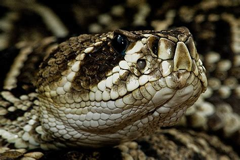 Eastern Diamondback Rattlesnake wallpapers, Animal, HQ