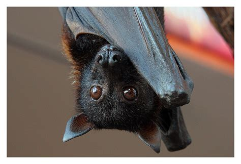 Flying Fox Malayan