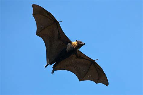 Pteropus tonganus , Tongan fruit bat or flying fox in