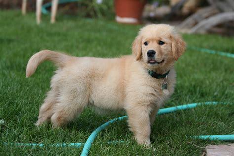 File:Golden Retriever puppy standingjpg Wikimedia Commons