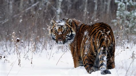 tiger, Snow, Animals Wallpapers HD / Desktop and Mobile