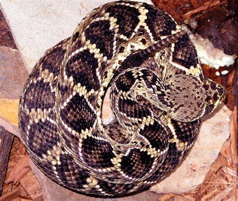 diamondback rattlesnake Wiktionary