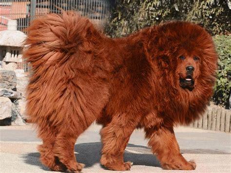 Image Gallery Lion Dog