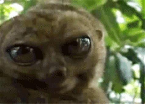 Eyes Lemur GIF Find & Share on GIPHY