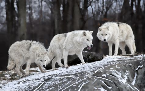 wolf, Wildlife, Animals, Snow Wallpapers HD / Desktop and