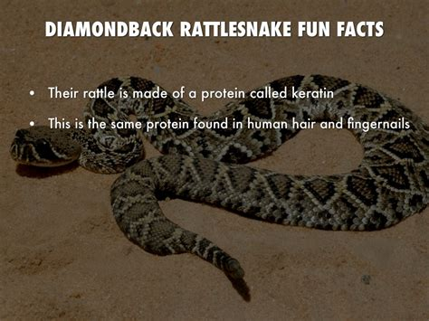 All About Diamondback Rattlesnakes by Kimberly