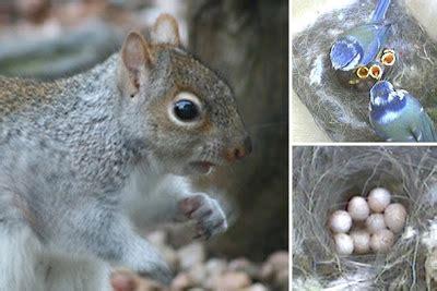 shirls gardenwatch: Grey tree rat eats birds eggs