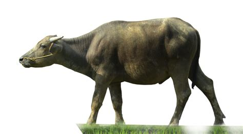 Buffalo ( Stock PNG ) by Cucu Fuang on DeviantArt