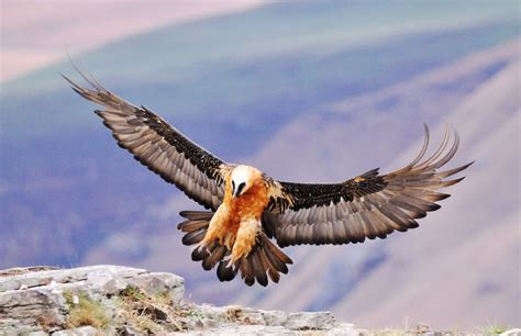 The Bearded Vulture It feeds primarily on bones