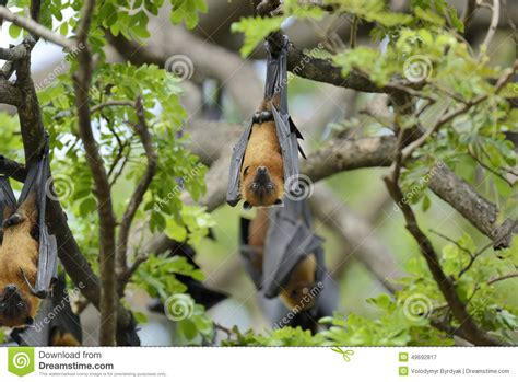 Flying Fox Stock Photo Image: 49692817
