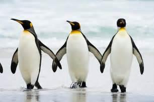 King Penguin Life of Sea