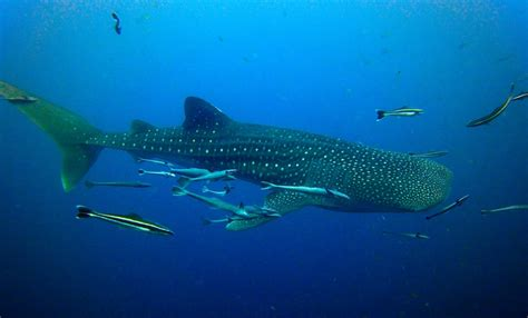 Whale Sharks and Diving DeeperBluecom