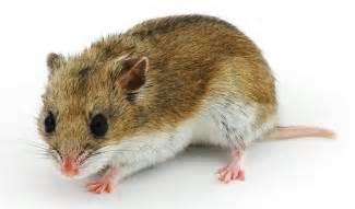 Seizures in Chinese Hamsters 2 November 2015 Pet Blog