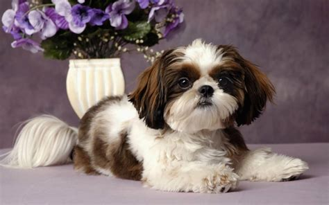 50 Most Beautiful Shih Tzu Dogs For Home Golfiancom