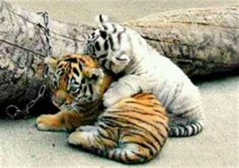 1000 images about Bengal Tiger's on Pinterest White