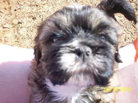 my shih tzu Dogs Photo (14721851) Fanpop