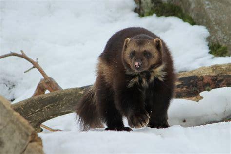 Wolverine (Gulo gulo) YouTube