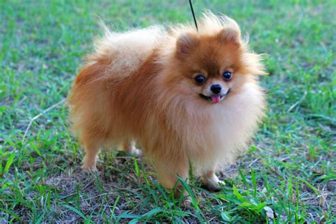 Pomeranian Dog Breed Information, Pictures, & More
