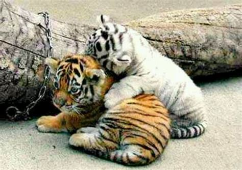 17 Best images about White Tiger on Pinterest Rompers