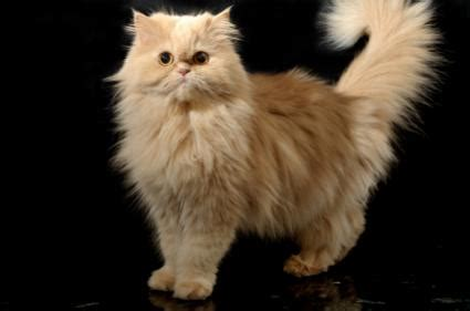 Best Trimmer for Persian Cat Hair LoveToKnow