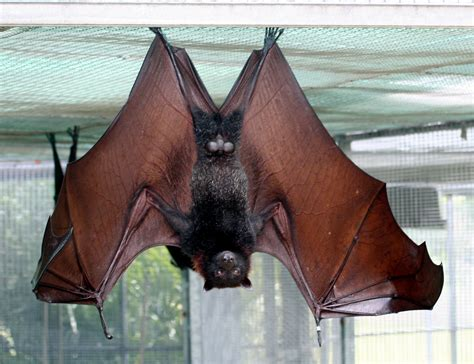 Lubee Bat Conservancy Large or Malayan Flying Fox