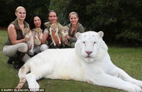 White Liger Cubs Are Too Cute For Words