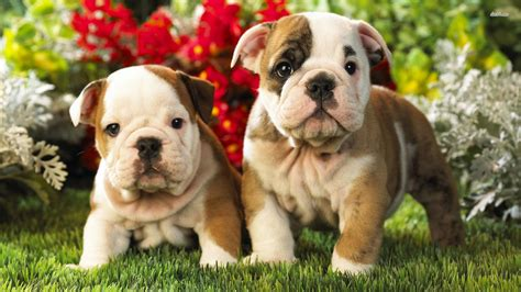 Old English Bulldog Wallpapers High Resolution and Quality