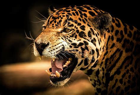 Photos Jaguars Big cats angry Head Animals