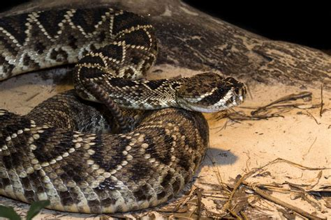 Eastern Diamondback Rattlesnake Zoo Atlanta