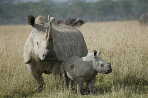 Beautiful dangerous wild animals pets of Africa: Rhino the