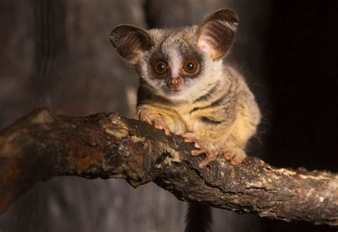 The mohol Bushbaby, also known as South African galago Pets