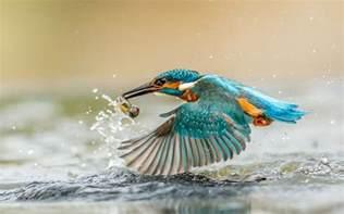 Kingfisher Bird With Caught Fish Desktop Wallpaper Hd : Wallpapers13
