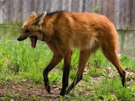 The Verge Review of Animals: the maned wolf The Verge