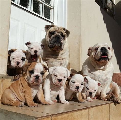 Very Cute Bulldog Puppies Animals