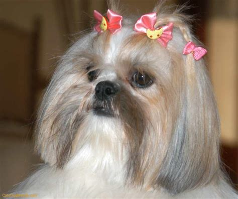 1000 images about Shih Tzu on Pinterest Shih tzu, Shih