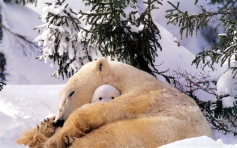 polar Bears, Animals, Baby Animals, Snow Wallpapers HD