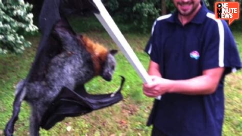 Man Slays Giant Bat, Makes Australia Sad YouTube