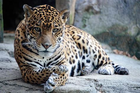 Picture 2 of 11 Jaguar (Panthera Onca) Pictures & Images