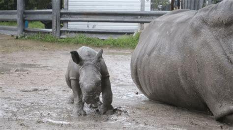 Baby Rhino and Its Mom Animals