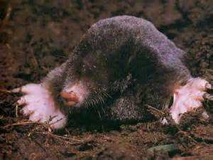 Animal Pets Pictures Images Photos: Mole Animal Pictures