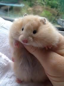 squeee cute pedigree hamster a Syrian long haired cream
