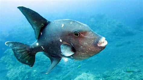 Ocean Trigger Fish La Palma Canary Islands Photograph