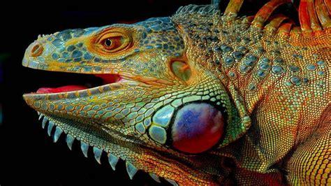 Head Of Iguana Lizard Pied Hd Wallpaper : Wallpapers13com