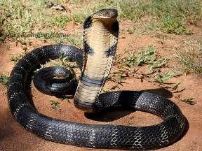 King Cobra Snake Fun Facts You Need to Know!