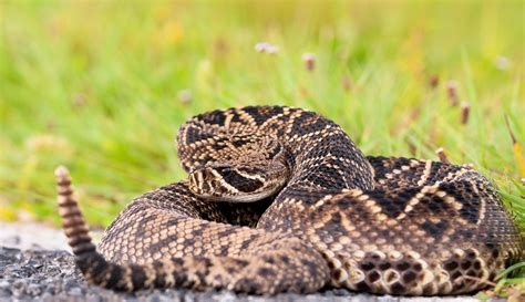 Eastern Diamondback Rattlesnake Wallpapers Backgrounds