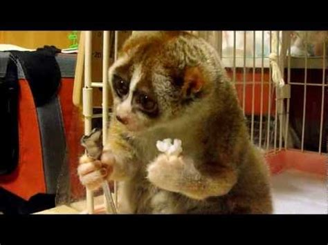 Slow Loris eating a Rice Ball YouTube